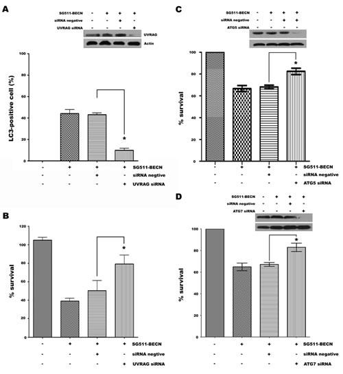siRNA-mediated UVRAG, ATG5, or ATG7 knockdown reverses suppressive effects of SG511-BECN.