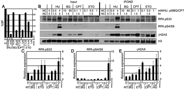 The purification of γH2AX and RPA at the nascent replication strand using iPOND.
