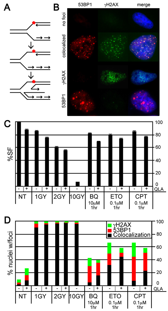Evaluation of γH2AX and 53BP1 foci in HeLa cells exposed to BQ.