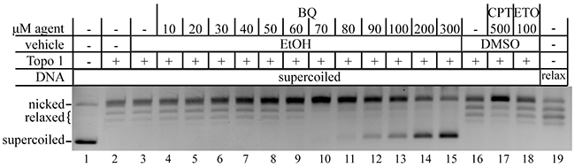 BQ inhibits type 1 topoisomerase (topo 1).
