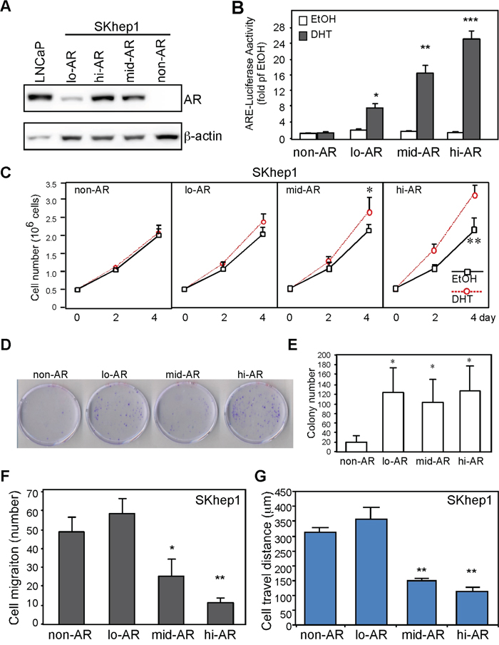 AR expression promotes growth and suppresses HCC cell migration.