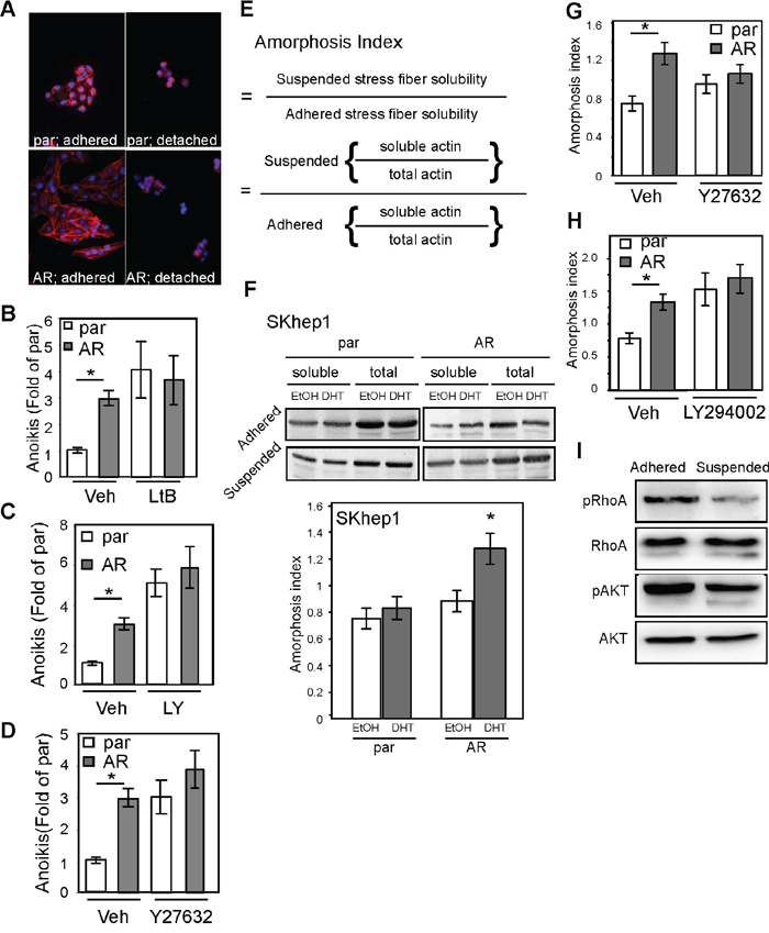 AR promotes anoikis by enhancing cellular amorphosis.