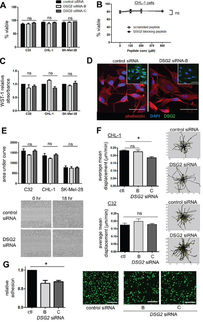 Effect of DSG2 inhibition on cell survival, proliferation, cytoskeletal structure, migration and adhesion.