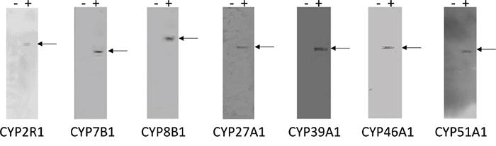 Immunoblots of CYP2R1, CYP7B1, CYP8B1, CYP27A1, CYP39A1, CYP46A1 and CYP51A1 monoclonal antibodies.
