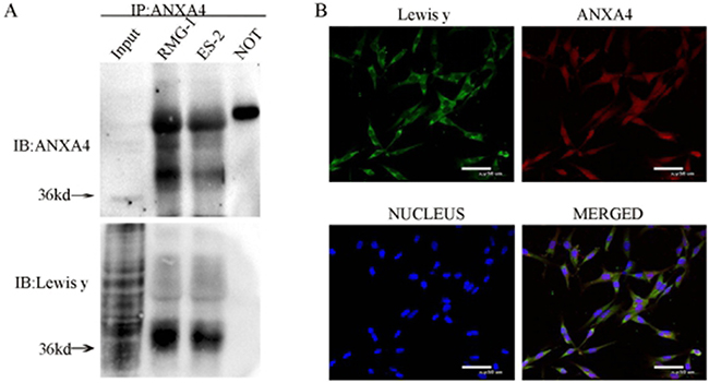 Interaction of ANXA4 and Lewis y in RMG-1 and ES-2 cell lines.