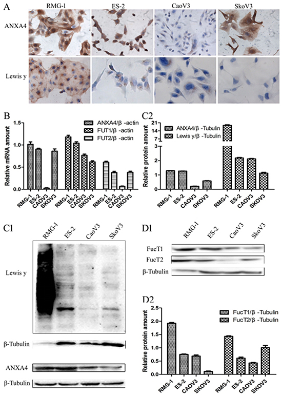 Expression of ANXA4 and Lewis y antigen in OCCC cells (RMG-1, ES-2) and serous ovarian cancer cells (CaoV3, SkoV3).