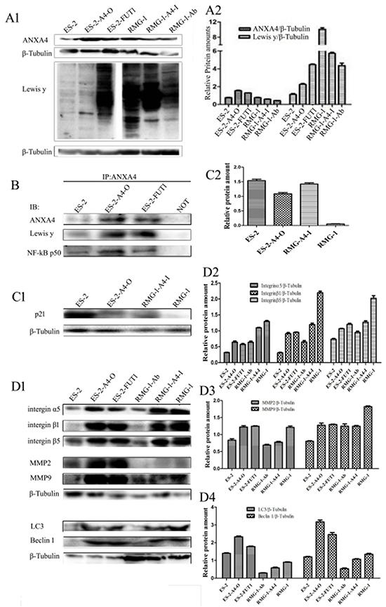 Lewis y antigen modification enhances interactions between ANXA4 and NF-kB p50.