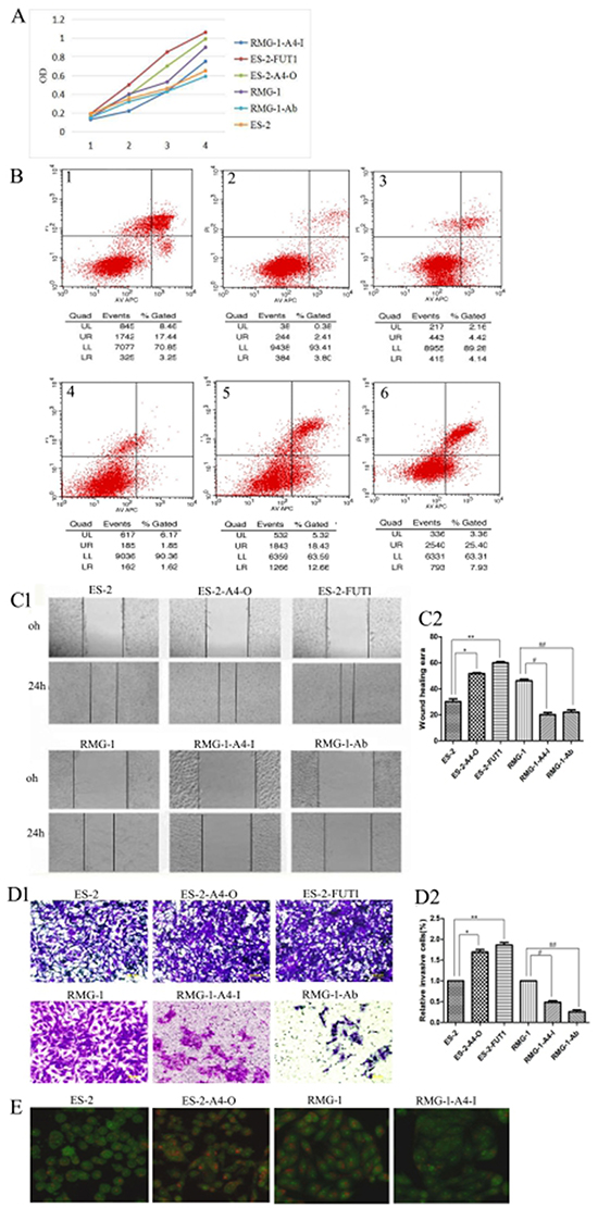 Lewis y modification enhances the role of ANXA4 on promoting OCCC cell proliferation, adhesion, migration, invasion, and autophagy but inhibits cell apoptosis.