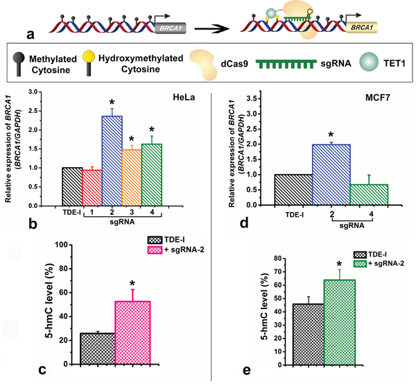 Effects of targeting of TET1 to BRCA1 promoter on gene expression and on enrichment with 5-hydroxymethylation (5-hmC).