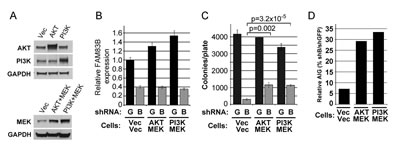Constitutively active PI3K/AKT and MEK signaling partially rescue MDA468 cells from growth suppression following FAM83B ablation.