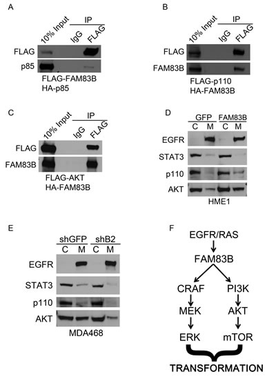 FAM83B expression alters the subcellular location of multiple PI3K signaling components.