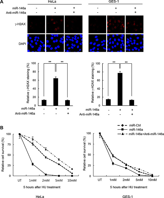 Increase of DNA damage sensitivity by miR146a.