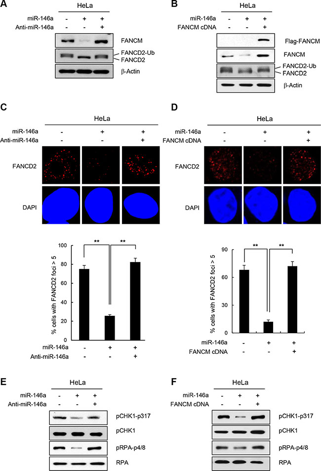 Effect of miR146a on FANCD2 monoubiquitination and the FA pathway.