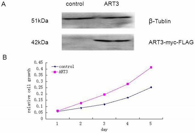 ART3 overexpression increases cell proliferation.
