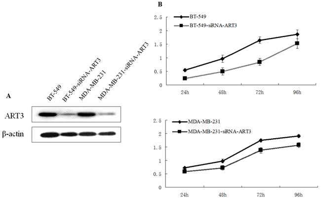 ART3 knockdown suppresses cell proliferation.