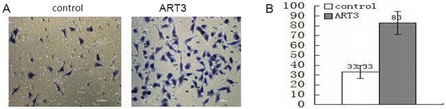 ART3 overexpression increases cell invasion.