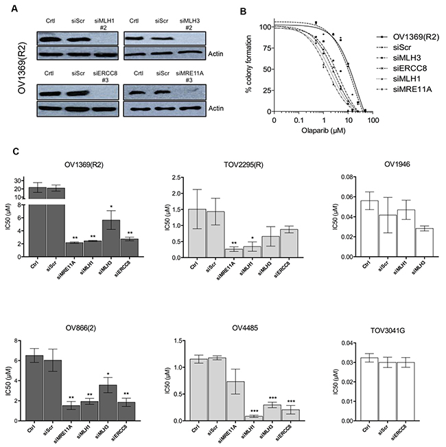 Validation by siRNA silencing of candidate genes contributing to Olaparib sensitivity.