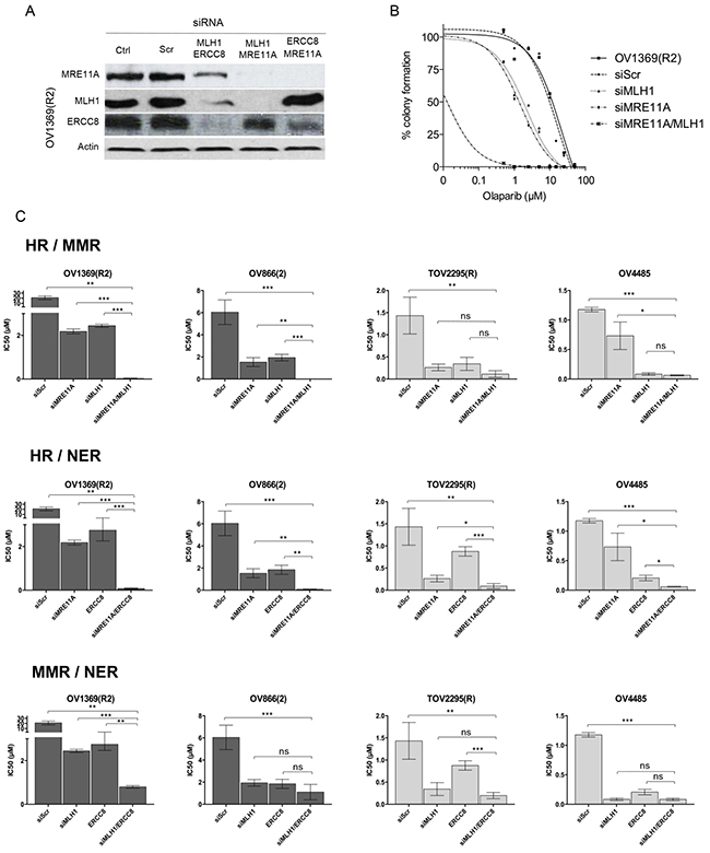 Olaparib sensitivity is enhanced by non-functional HR combined with defects in another DNA repair pathway.