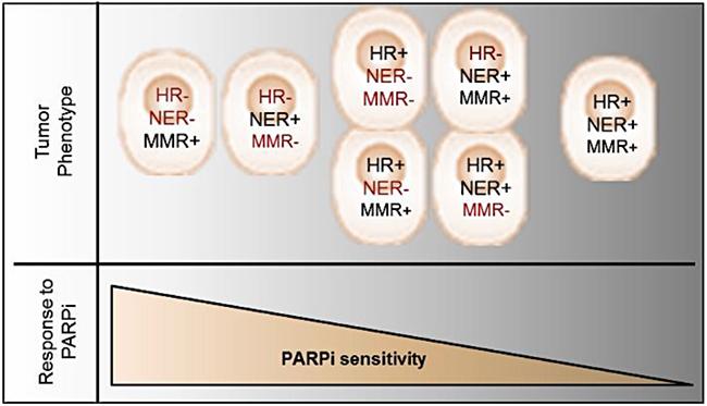 Schematic model representing tumor phenotype and corresponding PARPi response.