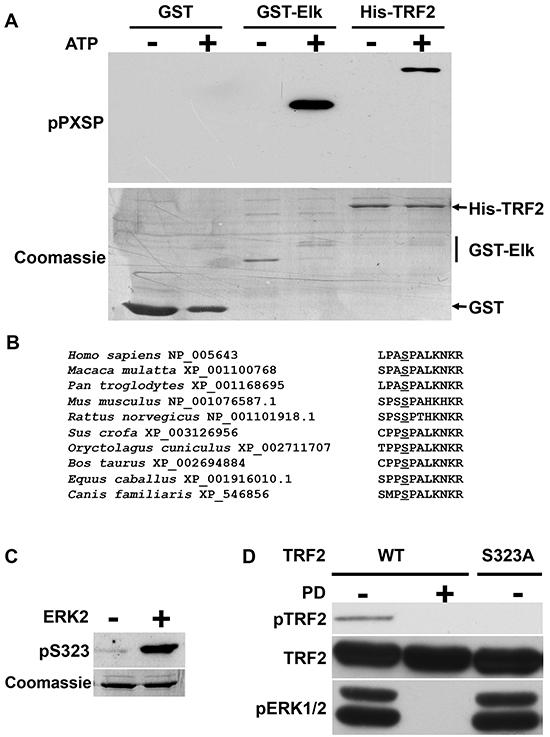 Identification of an ERK1/2 phosphorylation site on TRF2.