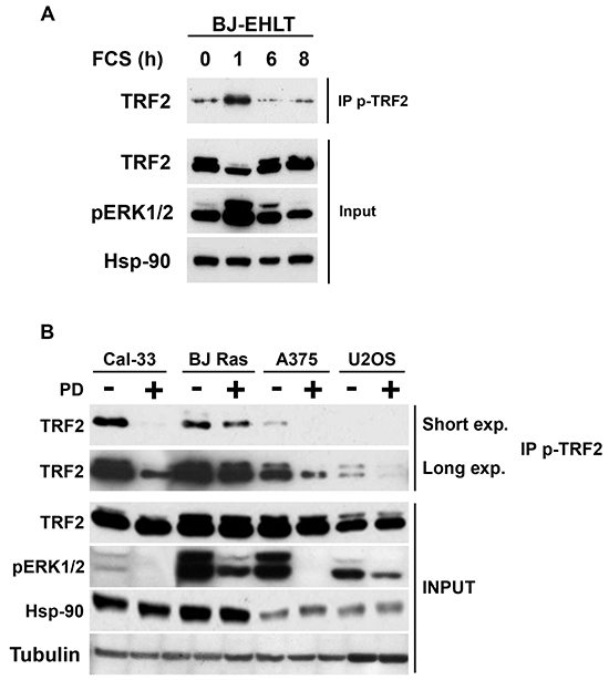 TRF2 is phosphorylated following physiological or pathological activation of ERK1/2.