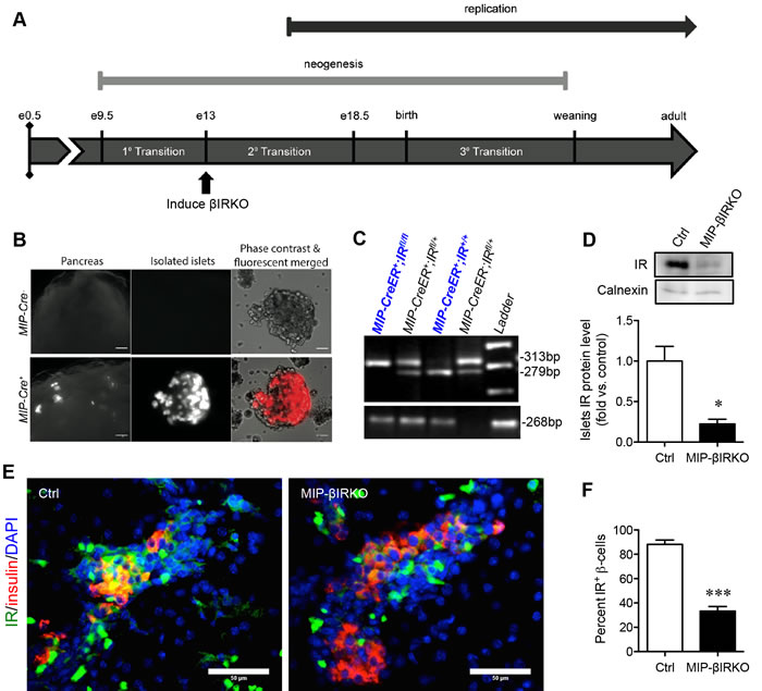 Confirmation of the fetal MIP-βIRKO mouse model.
