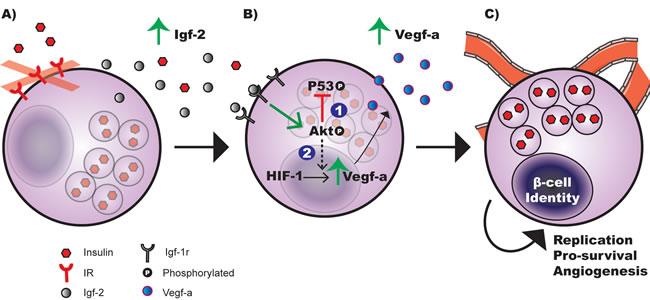 Working model of hyperplastic islet response observed in fetal MIP-βIRKO mice.