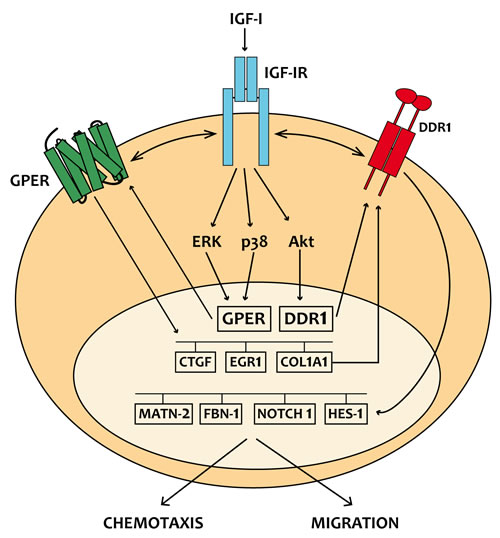 Schematic representation of the signaling network between IGF-IR, GPER and DDR1 activated by IGF-I.