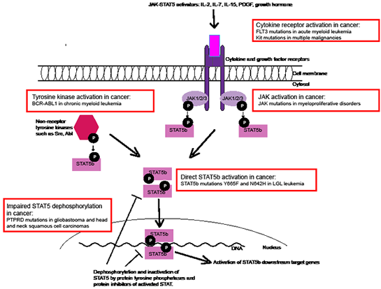 Different mechanisms of STAT5 activation in cancer.