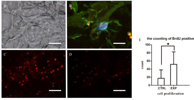 Microscopic characteristics of decellularized scaffolds and EPCs co-cultured with decellularized scaffold.