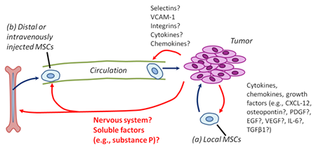 MSCs are recruited to tumors from local and distant (systemic) sources.