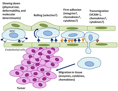The physical parameters and cell surface molecules of MSCs cooperate to induce active homing of MSCs to tumors.