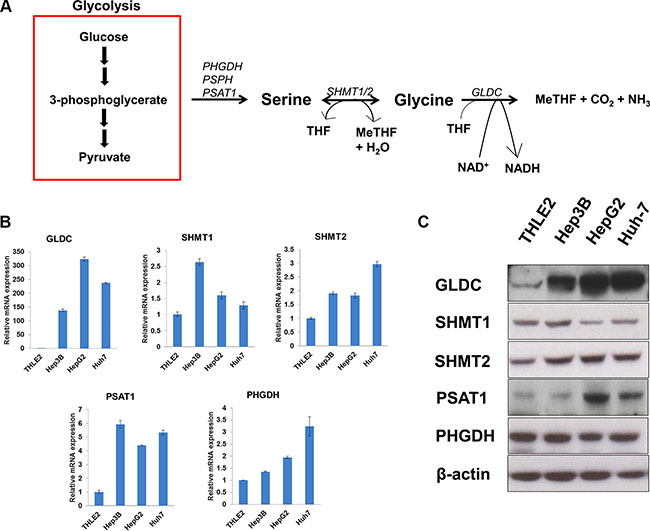 SHMT2 is upregulated in liver cancer cell lines.