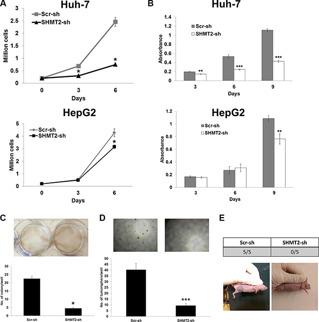 SHMT2 knockdown is able to reduce cell growth and tumorigenicity.