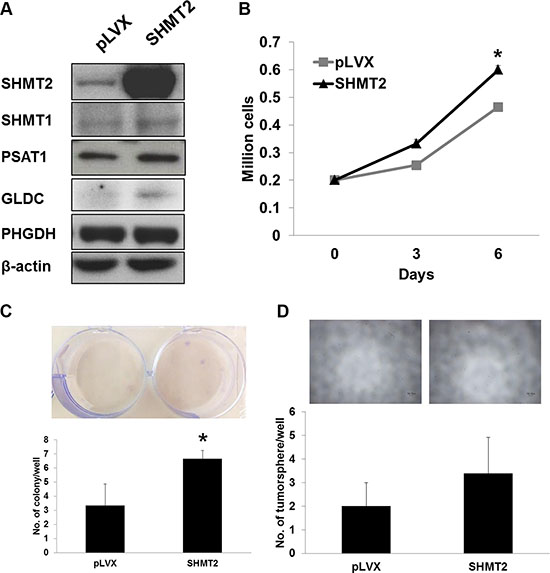 SHMT2 overexpression is insufficient to transform THLE2 normal liver cells to malignancy.