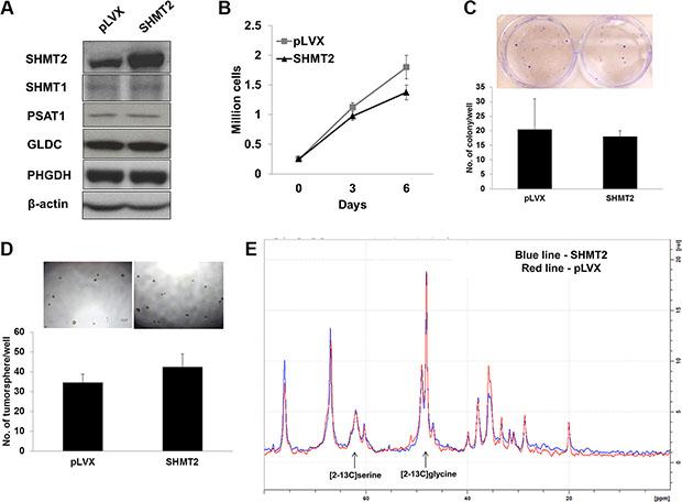 Huh-7 cells exhibit maximal SHMT2 activity.