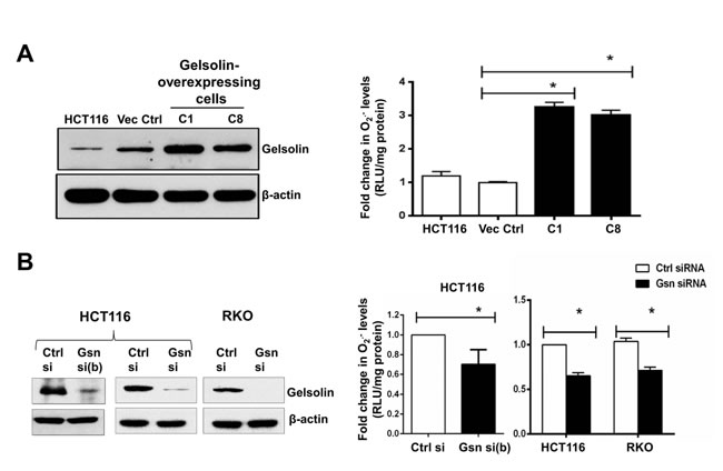 Gelsolin modulates intracellular superoxide (O