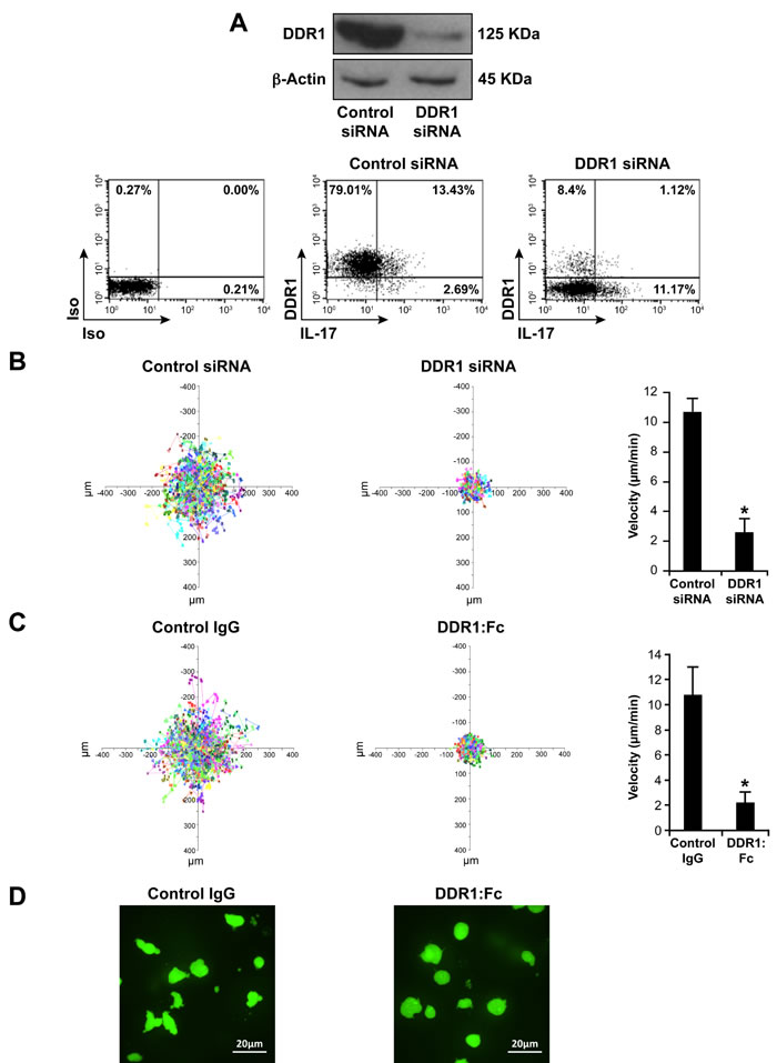 DDR1 promotes human Th17 motility in 3D collagen.