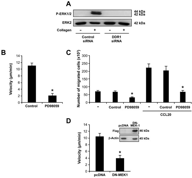 DDR1 promotes Th17 migration by activating the MAPK/ERK pathway.