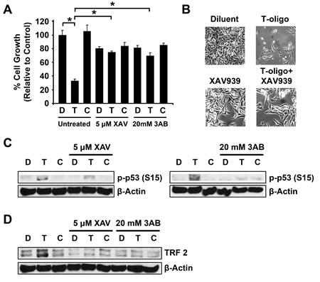 Inhibition of Tankyrase-1 prevents T-oligo induced DNA damage responses.