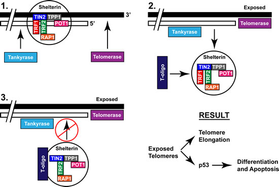 Proposed mechanism of T-oligo induced activation of the DNA damage response through recruitment of the shelterin complex.