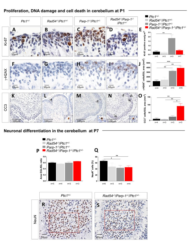 Evaluation of proliferation, DNA damage and cell death in neuronal precursors of the EGL at P1 and differentiation in mature granule neurons in the IGL at P7.