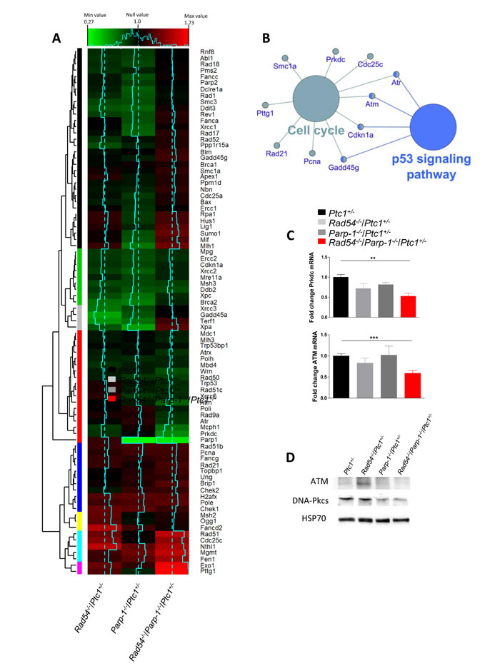 Bioinformatic analysis of expression profiles of DNA repair-related genes in P1 cerebella from