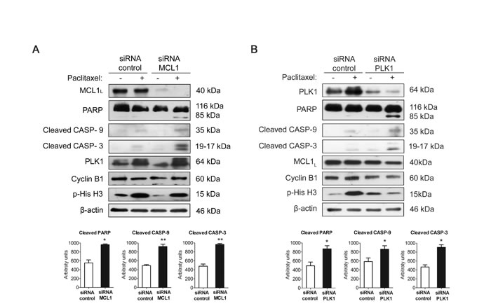 Silencing PLK1 or MCL1 restores sensitivity to paclitaxel in resistant MDA-MB-468R cells.
