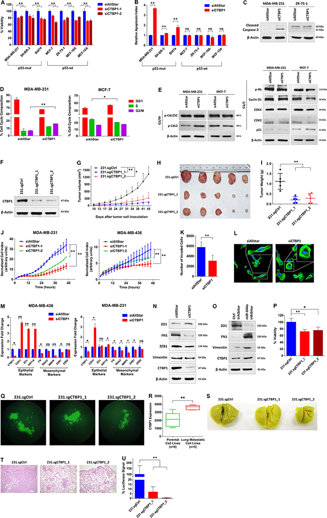 Loss of CTBP1 inhibits cell viability, tumor growth, migration and invasion in vitro, and inhibits tumor progression and metastasis in vivo.