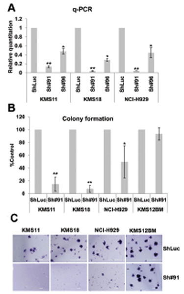 Characterization of the SLAMF7 activity in t(4;14) MM cells by colony formation assay in methylcellulose media.
