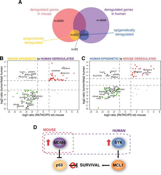 Mouse and Human Integrative Data Analysis for Retinoblastoma Integrative data analysis for mouse retinoblastoma was compared to the human retinoblastoma integrative data from Zhang et al[6].
