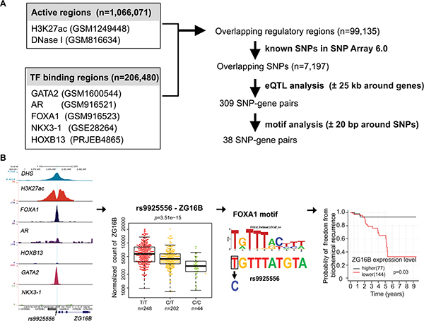 Identification of potential regulatory SNPs for PCa.