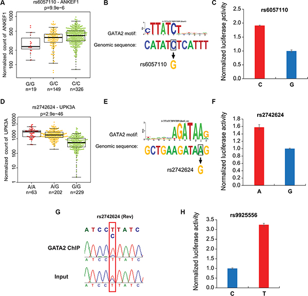 Allele-specific differences in enhancer activity and GATA2 chromatin binding at the selected loci.