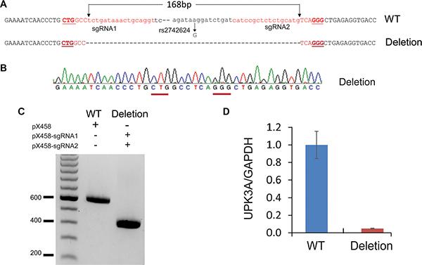 CRISPR/cas9 -mediated genomic deletion of rs2742624 locus diminishes UPK3A gene expression.